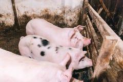 在猪圈的小的猪 免版税库存图片