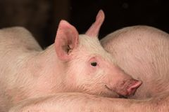在猪圈的幼小猪 免版税库存照片