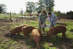 在猪圈的父亲和儿子哺养的猪 免版税库存图片