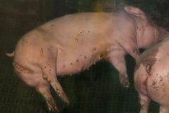 在猪圈的猪在农场 免版税库存图片