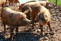 在猪圈的猪 免版税库存图片