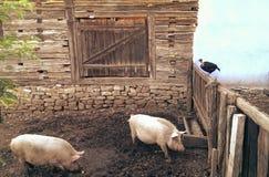 在猪圈的猪 免版税库存照片