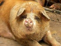在猪圈的猪 免版税图库摄影