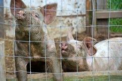 在猪圈的肮脏的猪 免版税库存图片