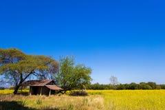 在猪屎豆属junceasunn大麻的黄色领域的一点小屋在碧差汶府,北泰国 图库摄影