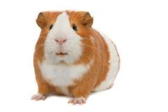 在猪白色的背景几内亚 库存图片