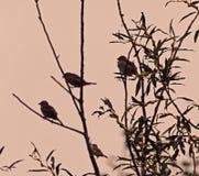 在猫杨柳树的鸟 免版税库存图片