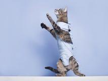 在猫的手术后绷带 宠物在宫刑, sterilizat以后 免版税库存图片