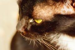 在猫的眼睛干燥鼻粘液 免版税库存照片