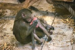 在猴子和婴孩之间的纯净的爱 图库摄影