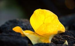 在玄武岩墙壁上的大黄色叶子在Kona 库存照片