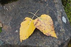 在玄武岩岩石的黄色叶子 免版税库存照片
