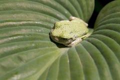 在玉簪属植物叶子的绿色雨蛙 库存照片