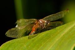 在玉米叶子的蜻蜓 免版税库存照片