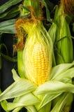 在玉米棒的玉米 库存图片