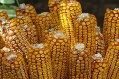 在玉米棒细节的成熟玉米 接近的玉米棒玉米 免版税库存照片