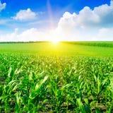 在玉米田的美好的日出 免版税库存图片