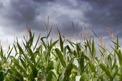 在玉米田的风雨如磐的天空 库存图片