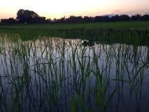 在玉米田稻田的晚上日落在#028 12月泰国 免版税库存图片