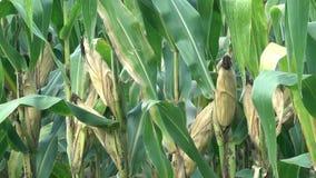 在玉米的玉米棒子 股票录像