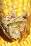 在玉米的蠕虫 库存照片