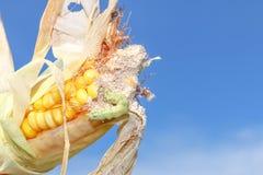 在玉米的蠕虫 免版税库存照片
