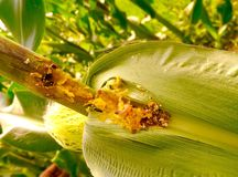 在玉米的蠕虫 库存图片