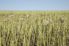 在玉米的绵羊在Anglesey,威尔士,英国调遣, 免版税库存图片