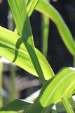 在玉米的绿色叶子在阳光下 库存照片