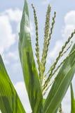 在玉米种植园的开花 库存照片