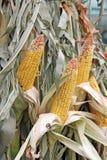 在玉米茎的剥壳的领域玉米 库存图片