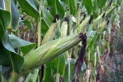 在玉米词根成熟玉米棒 库存照片