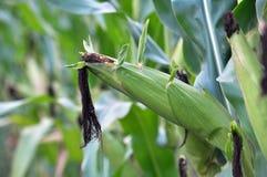 在玉米词根成熟玉米棒 免版税库存照片