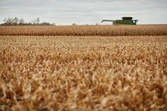 在玉米领域的新近地被收获的发茬 库存图片