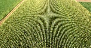在玉米领域的空中飞行 股票视频