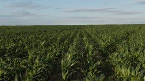 在玉米领域的空中鸟景色英尺长度与显示宽农业领域的年轻和小玉米 股票录像