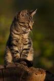 在王位的Housecat 免版税库存照片