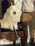在王位,悉尼狗恋人的萨莫耶特人显示 免版税库存照片