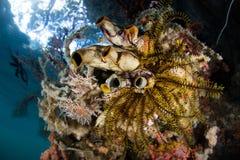 在王侯Ampat的海洋生物多样性 免版税库存图片