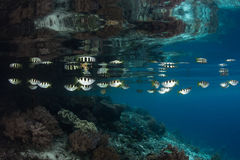 在王侯Ampat的被结合的射水鱼 图库摄影