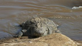 在玛拉河,肯尼亚的河岸的一条巨大的鳄鱼 影视素材