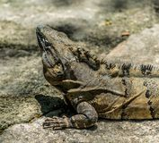 在玛雅废墟的热带鬣鳞蜥在墨西哥 免版税库存图片