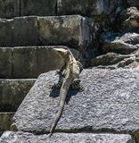 在玛雅废墟的鬣鳞蜥在墨西哥 图库摄影