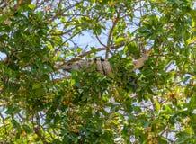 在玛雅废墟的鬣鳞蜥在墨西哥 免版税库存图片