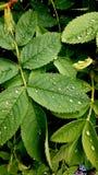 在玫瑰丛的雨珠 库存图片
