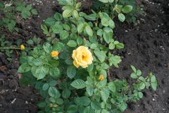 在玫瑰丛leafage的黄色花  图库摄影