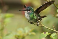 在玫瑰分支栖息的蜂鸟 免版税库存照片