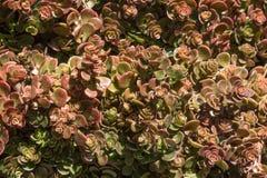 在玫瑰华饰在红色和绿色的,紧紧束起的被环绕的多汁植物叶子背景 库存图片