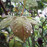 在玫瑰叶子的雨珠 库存照片