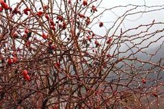 在玫瑰果布什的春雨下落 免版税库存照片